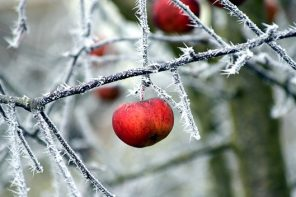 Apple hanging from the icy branches of a tree in Winter