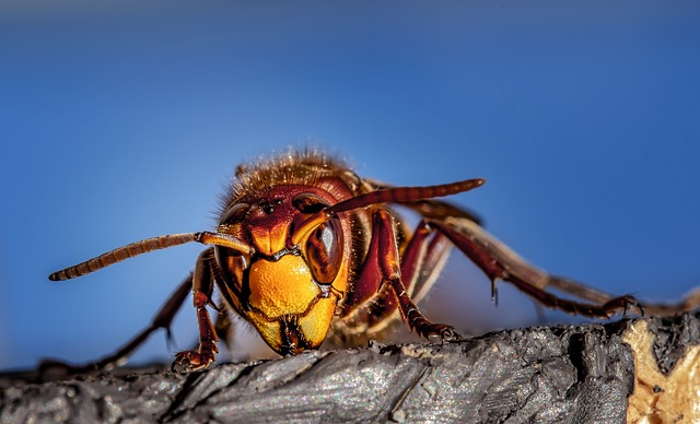 Close up of a hornet or wasp with a bright blue sky background
