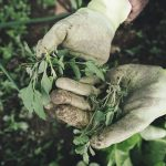 Close up of a pair of hands wearing dirty gardening gloves holding some weeds