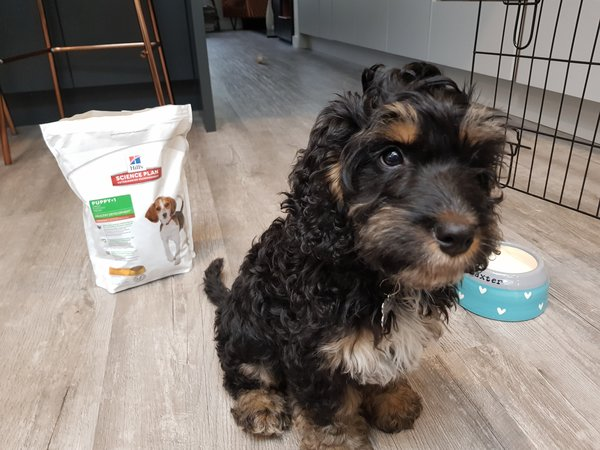 Cockapoo puppy sat next to a bag of Hills Science Plan puppy food for a review
