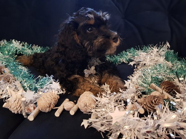 Sable cockapoo puppy sat on a navy velvet sofa surrounded by white,silver and aqua tinsel displaying a dog christmas gift guide